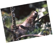 Three-toed Sloth I photographed in Panama