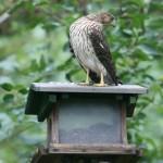Hawk at feeder