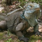 Cayman Blue Iguana