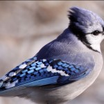 bluejay on snowy day