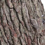 Brown Creeper on trunk