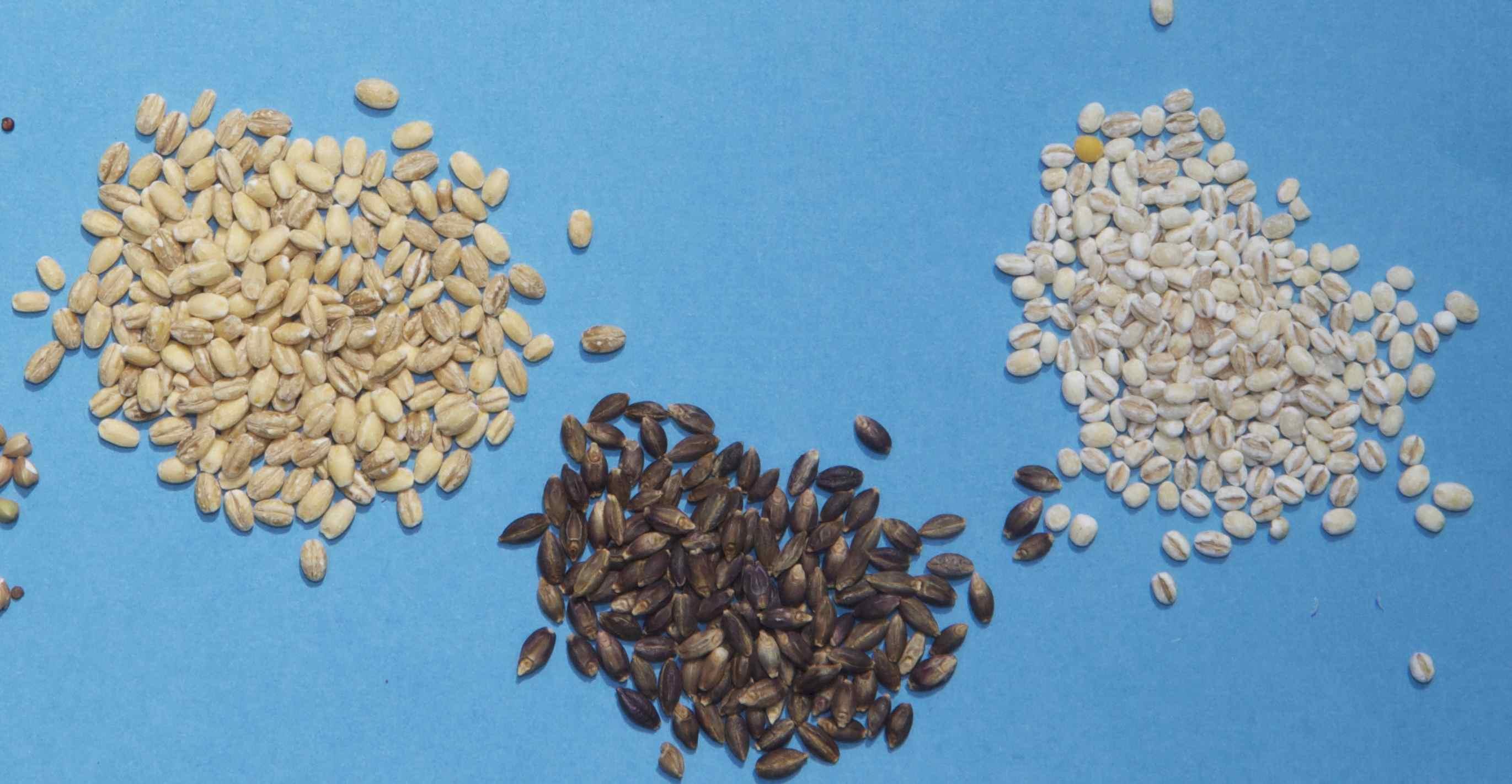 barley-2